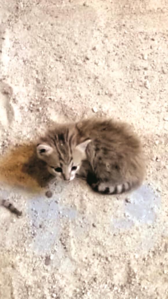 ولادة قط بري عربي نادر بحديقة حيوان منتزه الخور